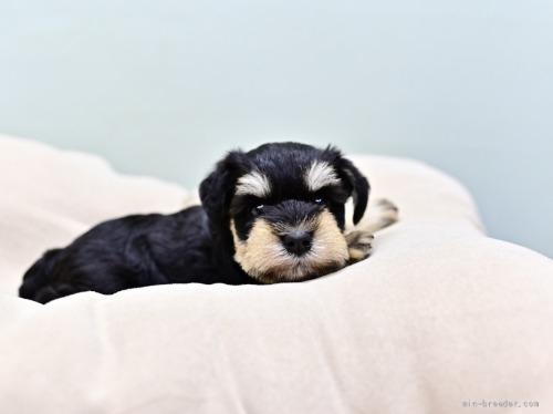 ミニチュアシュナウザーの子犬(ID:1263011102)の4枚目の写真/更新日:2021-07-26