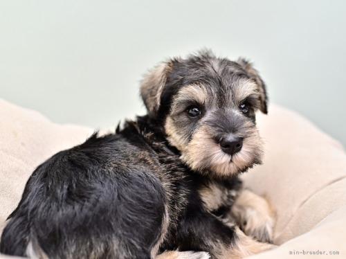 ミニチュアシュナウザーの子犬(ID:1263011103)の2枚目の写真/更新日:2019-09-12