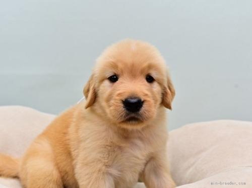 ゴールデンレトリバーの子犬(ID:1263011104)の2枚目の写真/更新日:2019-11-06