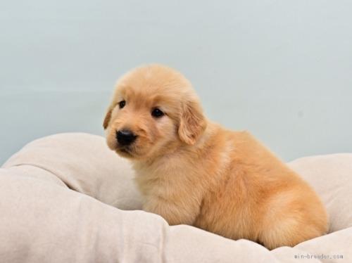 ゴールデンレトリバーの子犬(ID:1263011104)の3枚目の写真/更新日:2019-11-06
