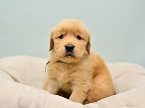 ゴールデンレトリバーの子犬(ID:1263011105)の2枚目の写真/更新日:2019-11-18