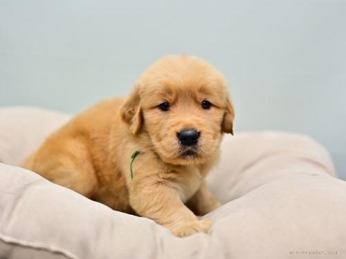 ゴールデンレトリバーの子犬(ID:1263011105)の3枚目の写真/更新日:2019-11-18