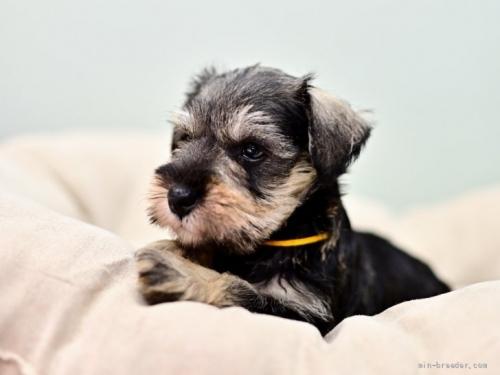 ミニチュアシュナウザーの子犬(ID:1263011106)の2枚目の写真/更新日:2019-11-08