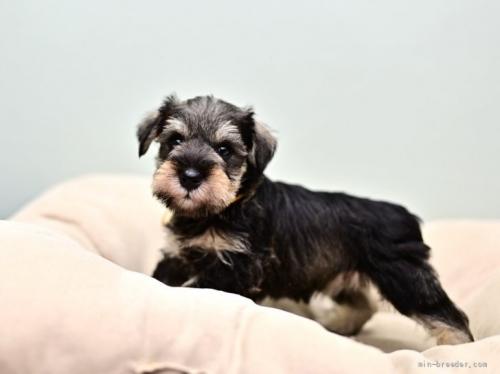 ミニチュアシュナウザーの子犬(ID:1263011106)の3枚目の写真/更新日:2019-11-08