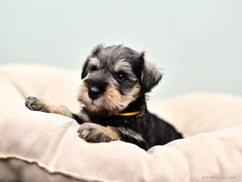 ミニチュアシュナウザーの子犬(ID:1263011106)の4枚目の写真/更新日:2019-11-08