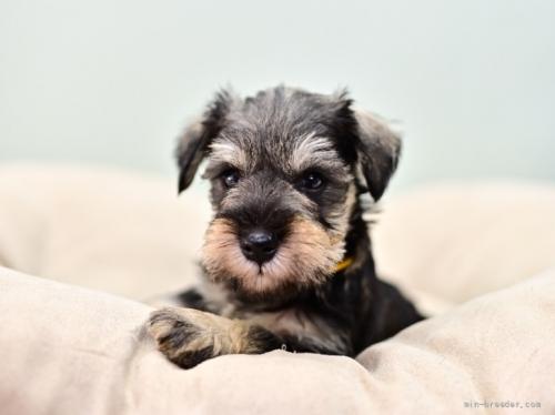 ミニチュアシュナウザーの子犬(ID:1263011106)の5枚目の写真/更新日:2021-10-15