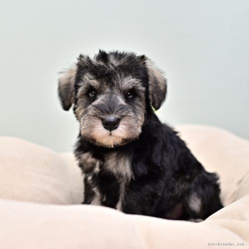 ミニチュアシュナウザーの子犬(ID:1263011107)の1枚目の写真/更新日:2019-11-08