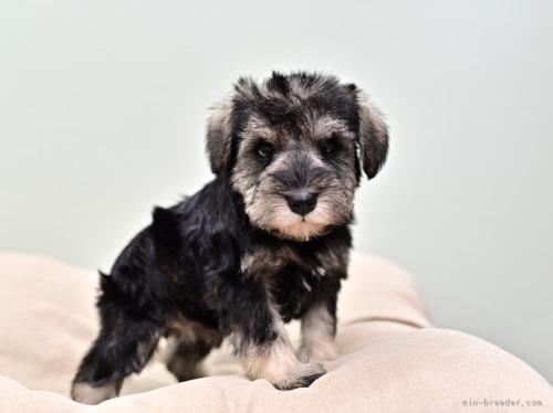 ミニチュアシュナウザーの子犬(ID:1263011107)の2枚目の写真/更新日:2019-11-08