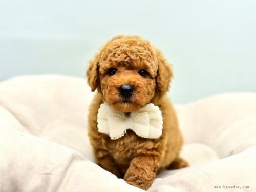 トイプードルの子犬(ID:1263011110)の1枚目の写真/更新日:2021-04-01