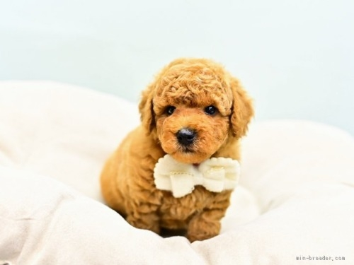 トイプードルの子犬(ID:1263011110)の3枚目の写真/更新日:2021-04-01