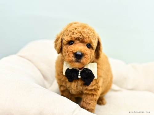 トイプードルの子犬(ID:1263011110)の4枚目の写真/更新日:2021-04-01