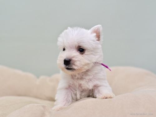 ウエストハイランドホワイトテリアの子犬(ID:1263011112)の3枚目の写真/更新日:2021-05-31