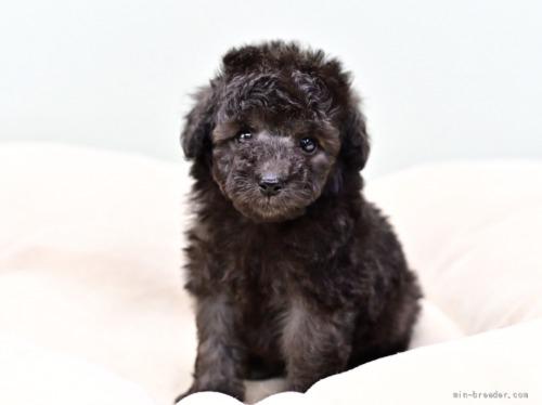 トイプードルの子犬(ID:1263011113)の2枚目の写真/更新日:2021-08-07