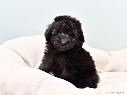 トイプードルの子犬(ID:1263011113)の3枚目の写真/更新日:2021-08-07