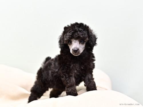 トイプードルの子犬(ID:1263011114)の1枚目の写真/更新日:2021-08-07