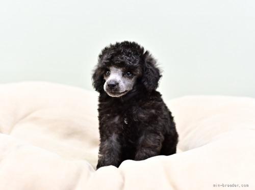 トイプードルの子犬(ID:1263011114)の2枚目の写真/更新日:2021-08-07