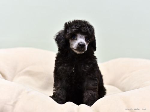 トイプードルの子犬(ID:1263011114)の3枚目の写真/更新日:2021-08-07