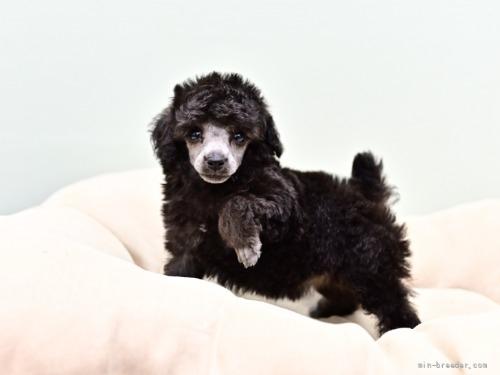 トイプードルの子犬(ID:1263011114)の4枚目の写真/更新日:2021-08-07