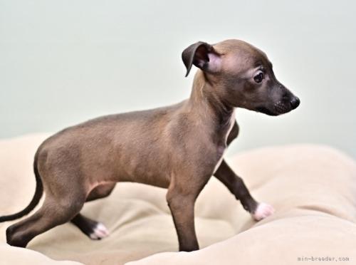 イタリアングレーハウンドの子犬(ID:1263011117)の3枚目の写真/更新日:2020-11-13