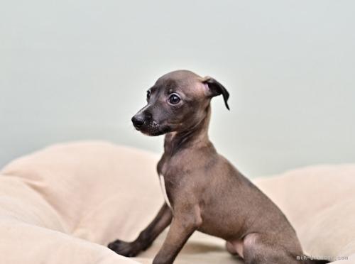 イタリアングレーハウンドの子犬(ID:1263011120)の2枚目の写真/更新日:2020-11-13