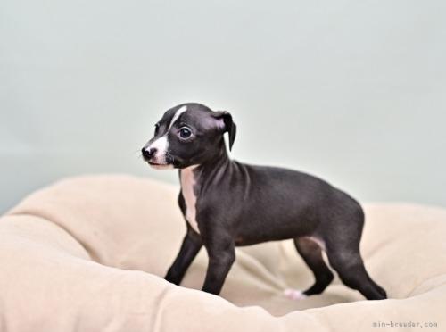 イタリアングレーハウンドの子犬(ID:1263011122)の2枚目の写真/更新日:2020-11-13