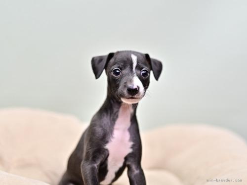 イタリアングレーハウンドの子犬(ID:1263011122)の3枚目の写真/更新日:2020-11-13