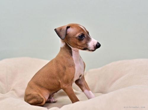 イタリアングレーハウンドの子犬(ID:1263011123)の2枚目の写真/更新日:2020-11-17