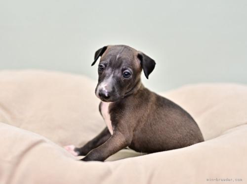 イタリアングレーハウンドの子犬(ID:1263011124)の3枚目の写真/更新日:2021-02-10