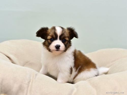 パピヨンの子犬(ID:1263011125)の1枚目の写真/更新日:2021-04-28