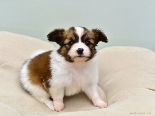 パピヨンの子犬(ID:1263011125)の2枚目の写真/更新日:2021-04-28