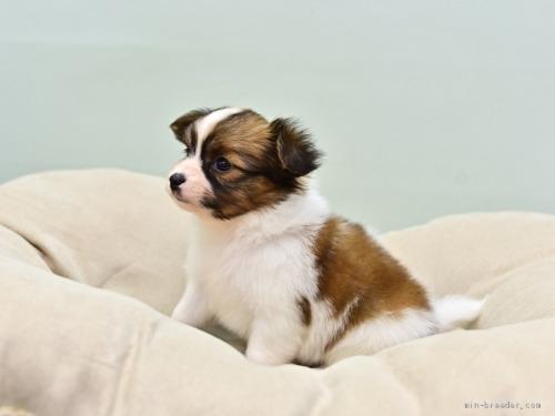 パピヨンの子犬(ID:1263011125)の3枚目の写真/更新日:2021-04-28