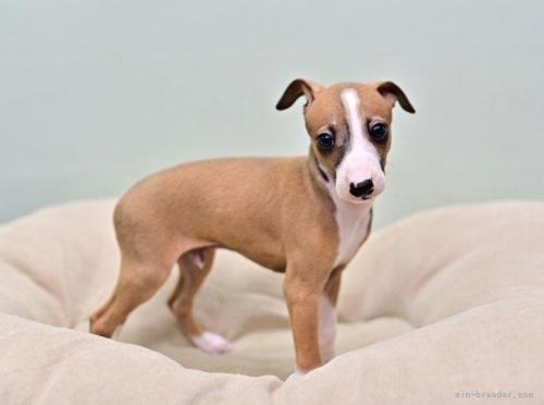 イタリアングレーハウンドの子犬(ID:1263011126)の2枚目の写真/更新日:2021-06-03