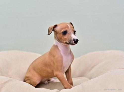 イタリアングレーハウンドの子犬(ID:1263011127)の2枚目の写真/更新日:2021-08-11