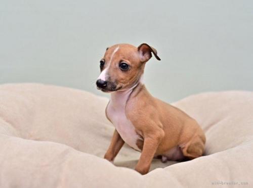 イタリアングレーハウンドの子犬(ID:1263011127)の3枚目の写真/更新日:2021-08-11