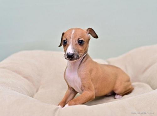 イタリアングレーハウンドの子犬(ID:1263011127)の4枚目の写真/更新日:2021-08-11