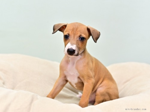 イタリアングレーハウンドの子犬(ID:1263011128)の4枚目の写真/更新日:2021-06-03