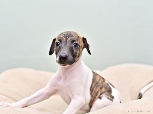ウィペットの子犬(ID:1263011131)の2枚目の写真/更新日:2021-09-13