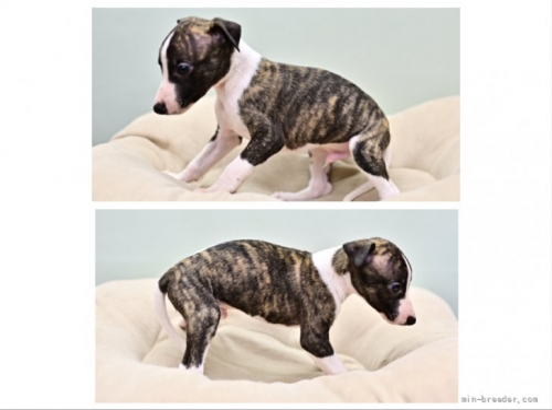 ウィペットの子犬(ID:1263011131)の3枚目の写真/更新日:2021-09-13
