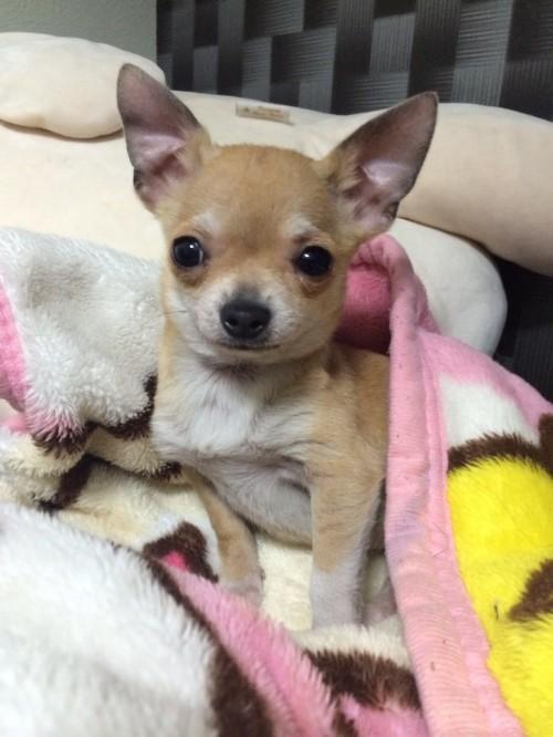 チワワ(スムース)の子犬(ID:1263411001)の1枚目の写真/更新日:2016-06-04