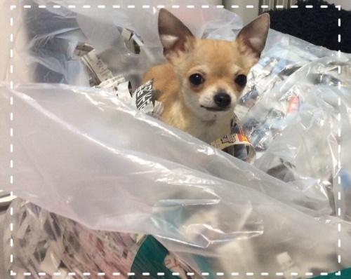 チワワ(スムース)の子犬(ID:1263411001)の2枚目の写真/更新日:2016-06-04