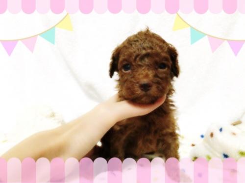 トイプードルの子犬(ID:1263411006)の1枚目の写真/更新日:2016-08-19