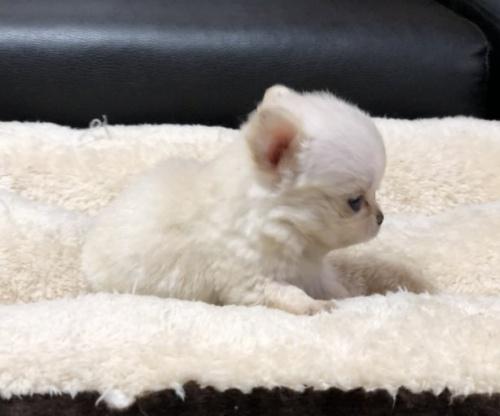 ポメラニアンの子犬(ID:1263711002)の1枚目の写真/更新日:2019-10-31