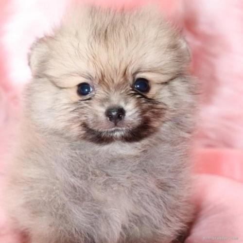 ポメラニアンの子犬(ID:1263711004)の1枚目の写真/更新日:2019-10-31
