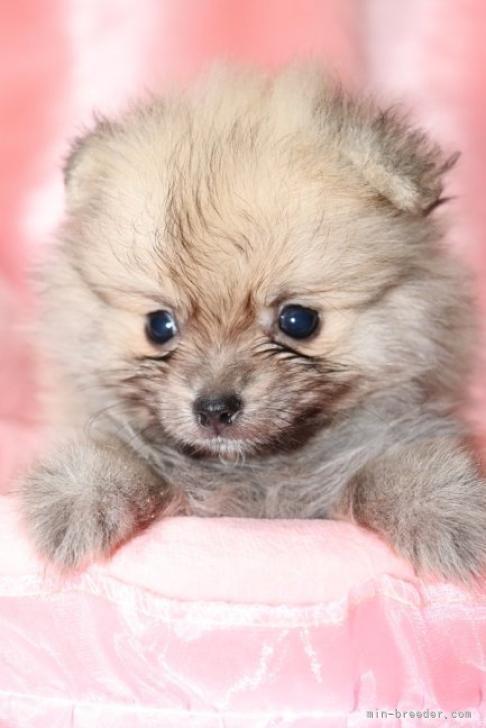 ポメラニアンの子犬(ID:1263711004)の2枚目の写真/更新日:2019-10-31