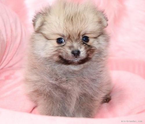 ポメラニアンの子犬(ID:1263711004)の3枚目の写真/更新日:2019-10-31
