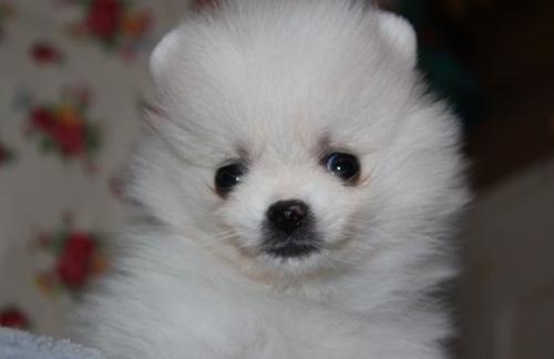 ポメラニアンの子犬(ID:1263711006)の1枚目の写真/更新日:2019-11-08