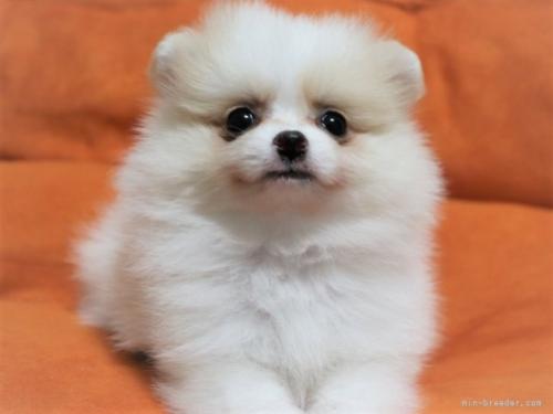 ポメラニアンの子犬(ID:1263711008)の4枚目の写真/更新日:2021-09-18