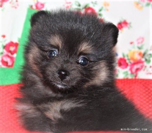 ポメラニアンの子犬(ID:1263711011)の1枚目の写真/更新日:2020-08-30