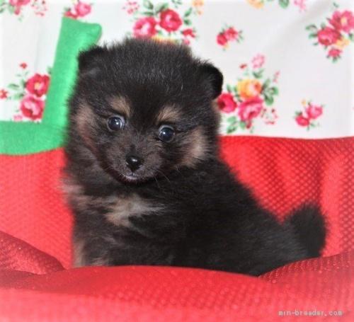 ポメラニアンの子犬(ID:1263711011)の2枚目の写真/更新日:2020-08-30