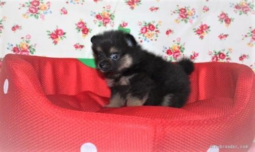 ポメラニアンの子犬(ID:1263711011)の3枚目の写真/更新日:2020-08-30